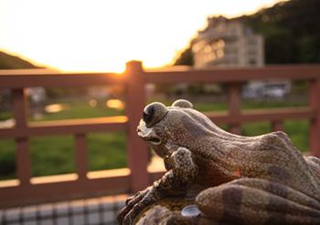 縁結びかじか蛙
