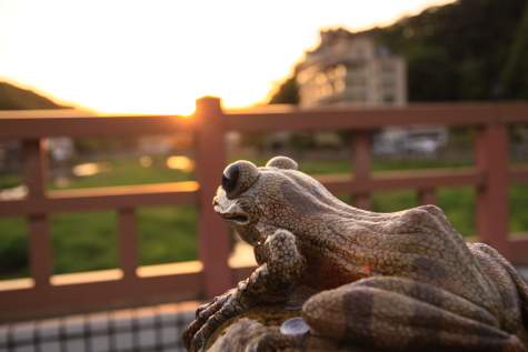夕陽を眺めるカジカ蛙