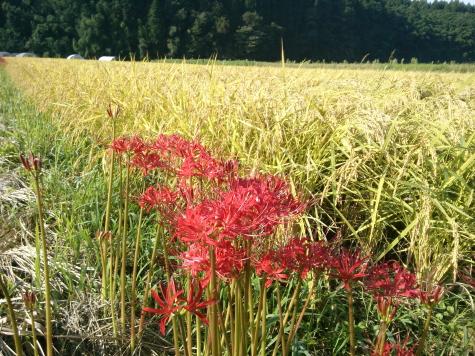 黄金色の稲と彼岸花